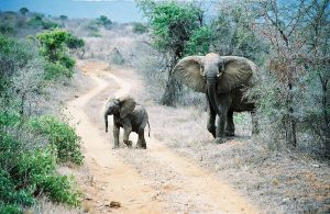 Mother and baby elephant in Tsavo